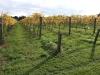 vineyards-in-autumn-2