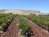 Holymount Blackhedge Vineyard
