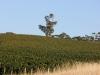 Holymount Estate Vineyard