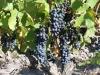 Red Kangaroo Winery - Shiraz Grapes