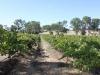 Vinnies Vineyard